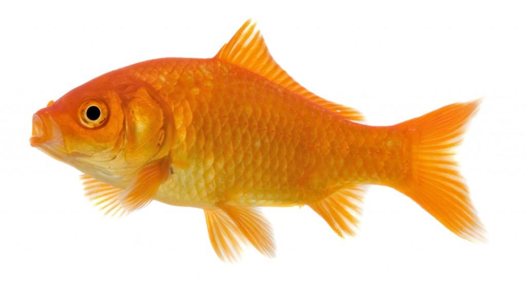 Teichfische und tiere f r den garten for Teichfische bilder